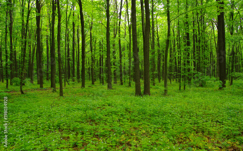 Forest trees in spring #198034928