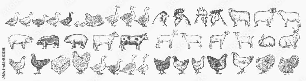 Fototapeta Farm animals collection. Hand drawn big farm animals set vector