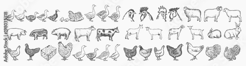 Foto  Farm animals collection. Hand drawn big farm animals set vector
