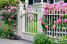 Pink Roses Climbing White Gate And Fence. Fancy Home Entrance.