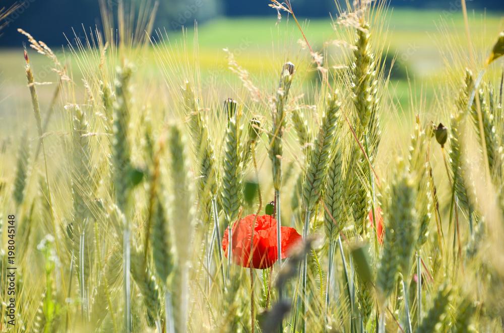 Mohnblume im Getreidefeld