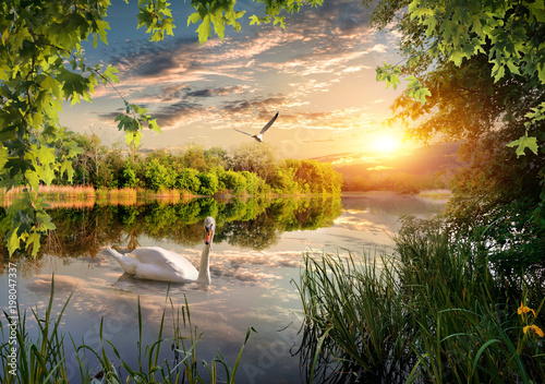 Poster Cygne Swan in the park