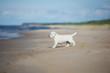 golden retriever puppy walking on the beach