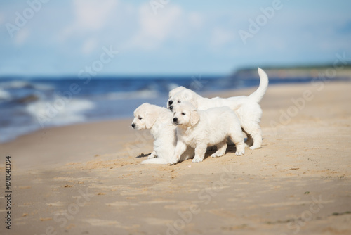 Group Of Golden Retriever Puppies By The Sea Buy This Stock Photo