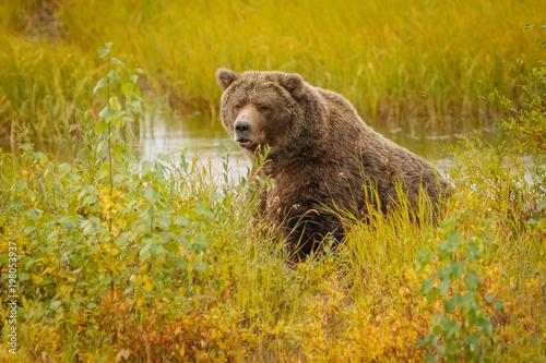 Huge bear in Brooks camp in Alaska Wallpaper Mural