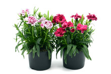 Purple Pink Dianthus Flower In Flowerpot. Potted On White Isolated Background