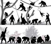 Silhouettes Of Chimpanzees And...
