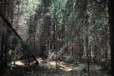 Pine forest. Depths of a forest. Journey through forest paths. T
