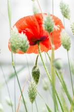 Flanders Poppy Flower, Papaver...
