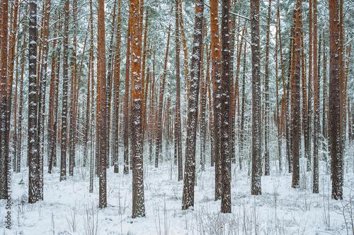 Tuinposter Berkbosje Winter pine forest in the snow.