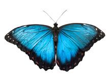 Blue Morpho Butterfly, Morpho ...