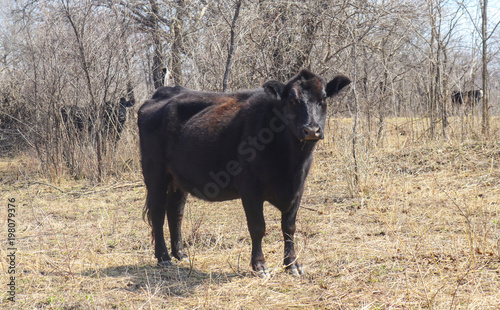 фотография  Black Angus cow side view looking forward in winter field in front of trees
