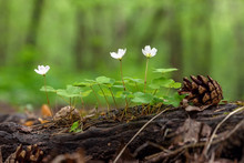 Spring In The Forest, The First White Flowers, The Oxalis Between The Roots Of A Tree, Green Background, Cones, Soft-focus, Blur, Moiré