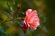 canvas print picture - Blumen, garten, Sommer, macro,