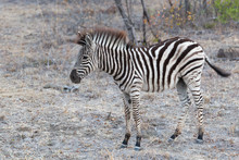 Young Zebra Eating Grass