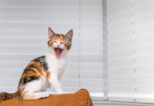 Laughing Kitten Sitting On A S...