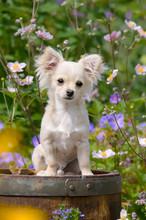 Cream-white Colored Chihuahua ...