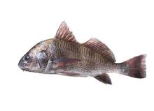 Fish  Black Drum (Pogonias Cro...