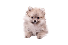 Pomeranian Puppy The Age Of 2 ...