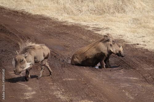 Photo  warthog, Serengeti, Tanzania, Africa