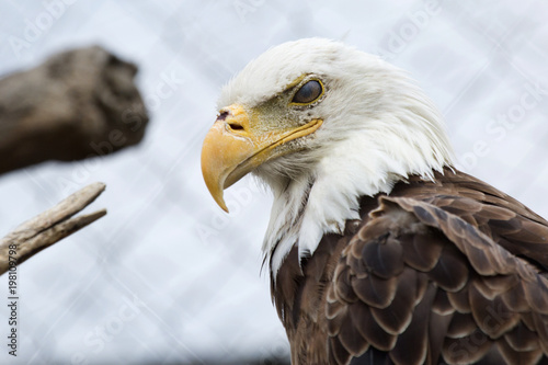 Poster Aigle Bald eagle in a cage looks defiantly at the world outside. Nictitating membrane protecting the bird's eye is visible.