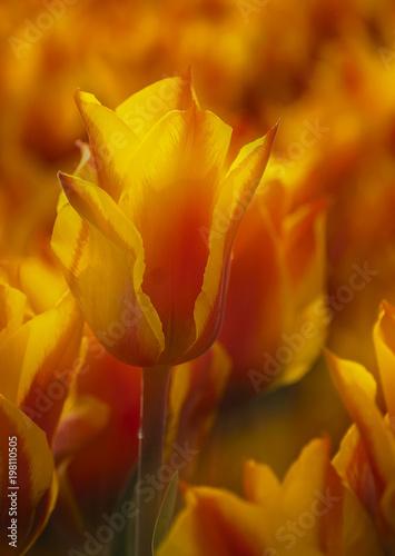 Fotografie, Obraz  488-23 Flame Tulip