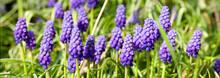 Muscari Bleu-Violet