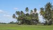 Coconut Palms on a Rice Plantation in Sri Lanka