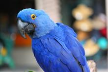 Hyacinth Macaw Blue Tropical R...