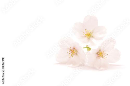 桜 ソメイヨシノ 春 白背景