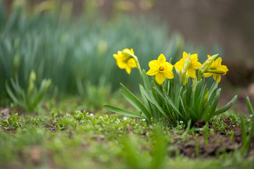Sprouted spring flowers daffodils in early spring garden