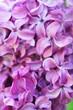 Syringa vulgaris or lilac purple flowers close up background