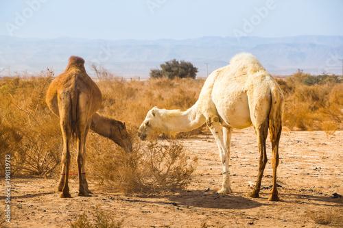 Deurstickers Kameel Camel in desert in a day