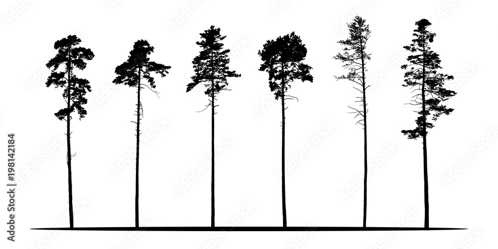 Fototapety, obrazy: Set of realistic vector silhouettes of coniferous trees - isolated