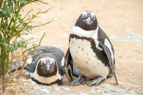 Tablou Canvas two young African penguins in a sandy environment