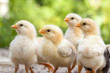 Group Of Baby Chicks On The Farm