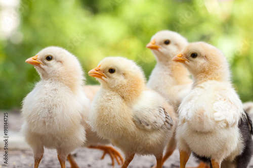Cuadros en Lienzo Group of baby chicks on the farm