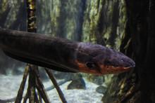 Electric Eel Underwater
