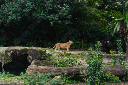 Photo Stands Kangaroo Lioness is on the jungle forest