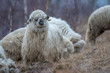 Cute sheeps getting in an open field after winter season