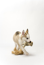 A Cute Young Husky Dog Puppy With Piercing Blue Eyes Walking Purposefully Away Carrying A Soft Toy On A White Seamless Backdrop