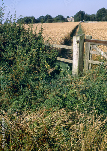 Fotografie, Obraz  England, Cotswolds, Gloucestershire, stile and footpath through corn field