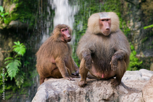 The hamadryas baboon sits on a rocks in the jungle