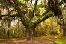 Oak Tree With Spanish Moss On A Plantation Near Charleston, South Carolina