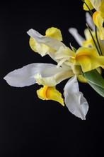 White Iris Flower In Dark