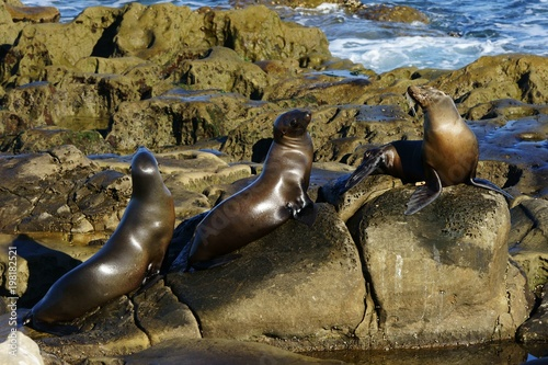 Three sea lions spending time together on the seashore rocks Poster