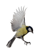 Isolated On White Great Tit In...