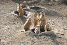 Prairie Dogs Out Of Their Burrows Watching Potential Predators