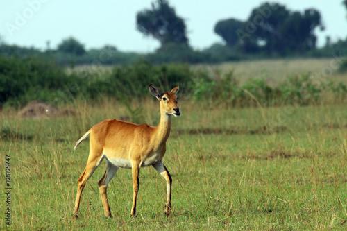 Deurstickers Antilope Wilde Antilopen in der Steppe von Arfrika Uganda