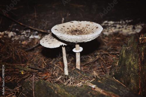 Fotografie, Obraz  mushroom macrolepiota in the forest
